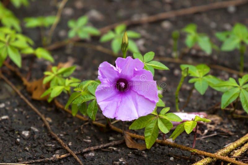 Kair ranku chwały kwiat z palmate liśćmi na ziemi Także c obraz stock