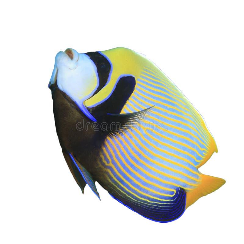 Kaiser-Engelhai lokalisiert auf Weiß lizenzfreie stockfotos