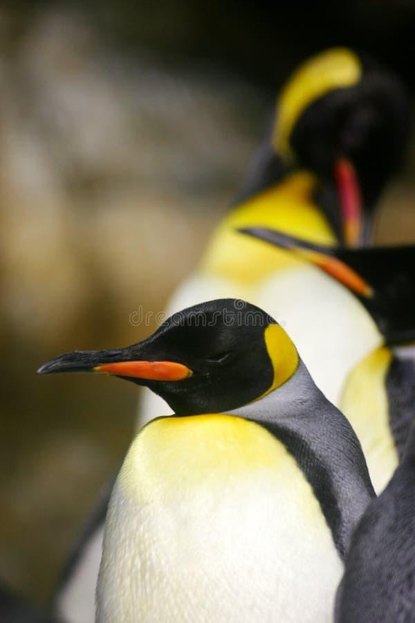 Kaiser-Pinguin lizenzfreies stockfoto