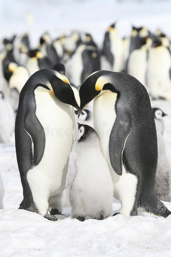Kaiser-Pinguine lizenzfreie stockfotos