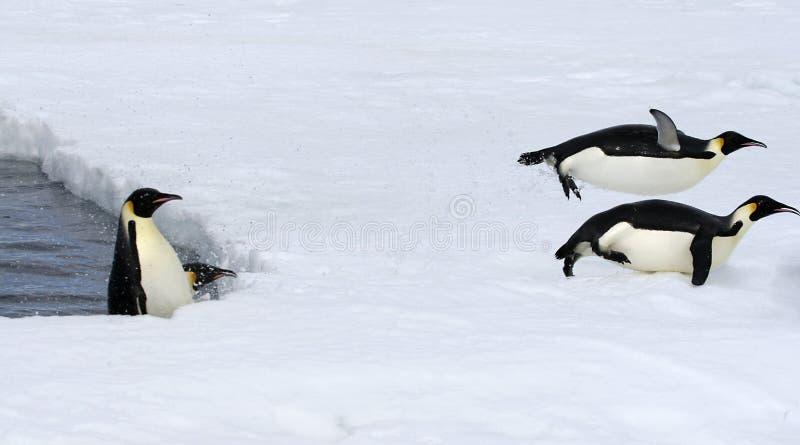 Kaiser-Pinguine (Aptenodytes forsteri) stockbilder