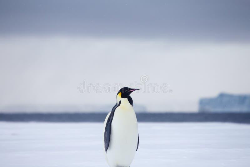 Kaiser-Pinguine auf Treibeis stockfotos