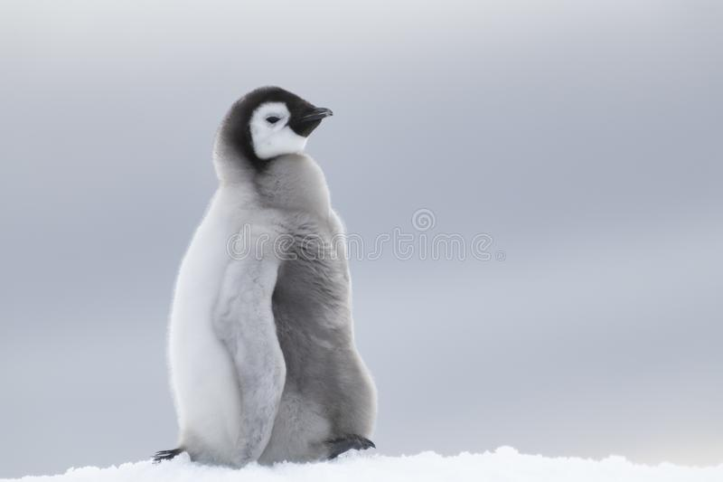 Kaiser-Pinguinküken auf Eis lizenzfreies stockbild