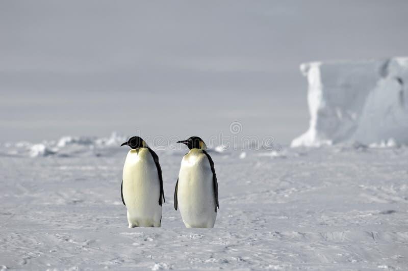 Kaiser-Pinguinpaare stockbilder