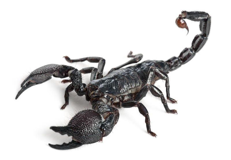 Kaiser-Skorpion, Pandinus imperator, 1 Jahr stockfoto