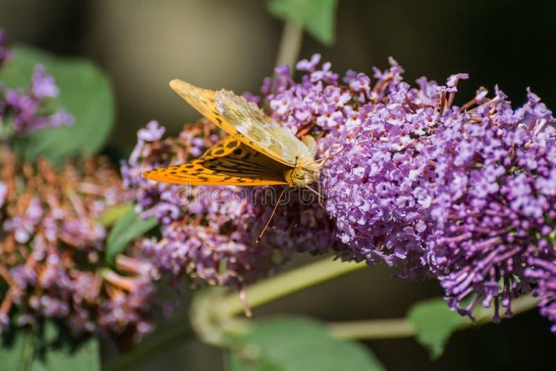 Kaisermantel - Argynnispaphia arkivfoto