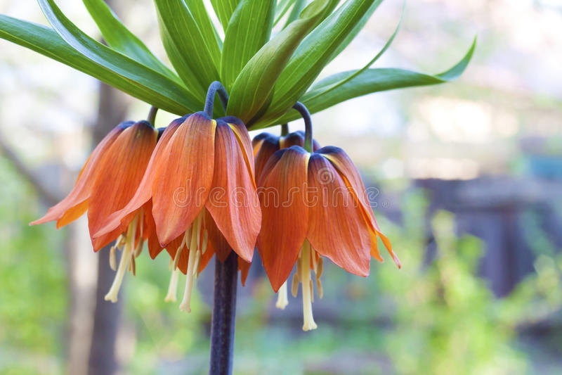 Kaisers korony Fritillaria imperialis kwiat obraz royalty free