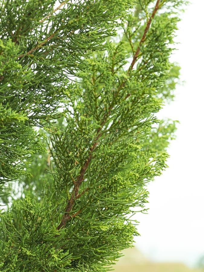 Kaizuka pine Japanese dragon pine or Juniperus chinensis in Cupressaceae family. Close-up green leaves of Hollywood Juniper or Juniperus chinensis L. ' royalty free stock image