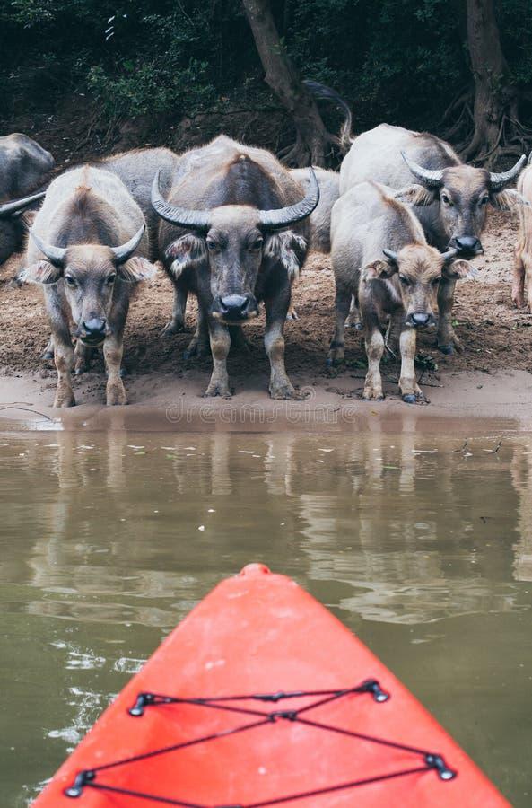 Kajaka nos przegapia stada wodnego bizonu woda pitna na Nam Ou rzece blisko Nong Khiaw wioski, Laos obrazy royalty free