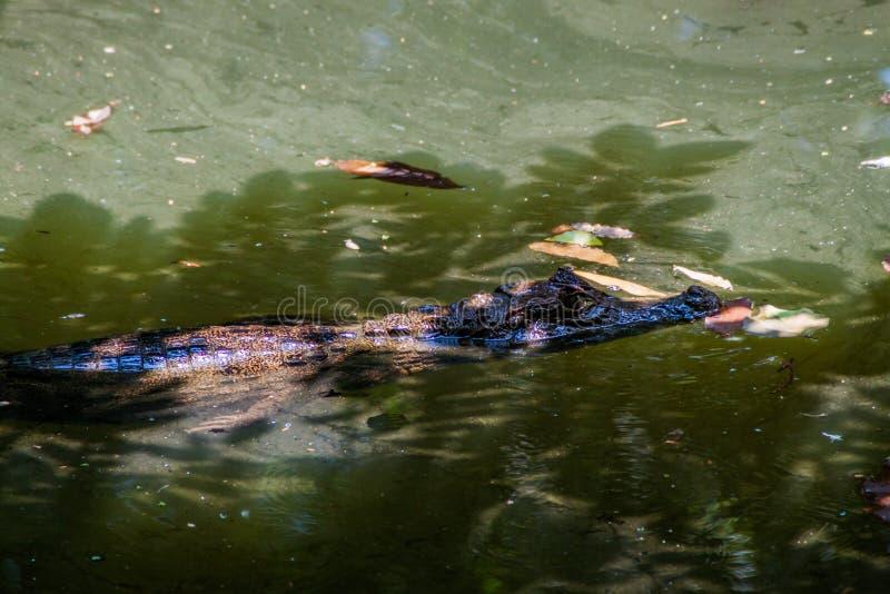 Kajmancrocodilus för glasögonprydd kajman i ett damm nära La Fortuna, Costa Ri arkivbild
