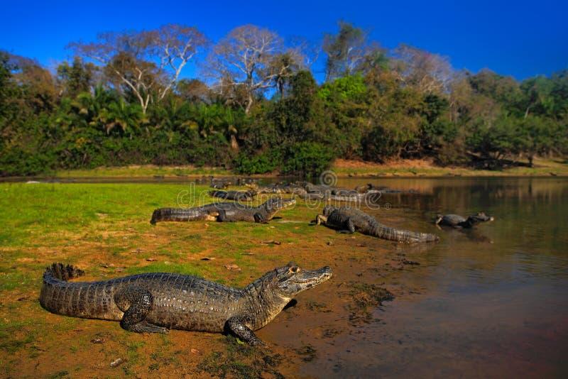 Kajmannen den Yacare kajmannen, krokodiler i floden ytbehandlar, aftonen med blå himmel, djur i naturlivsmiljön Pantanal Brasilie royaltyfria bilder