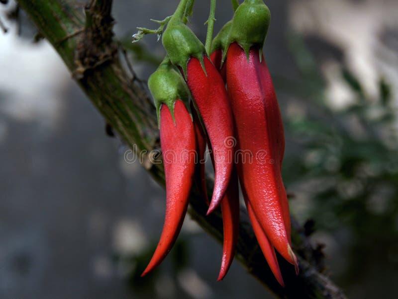 Kaka Beak. NZ Flower royalty free stock image