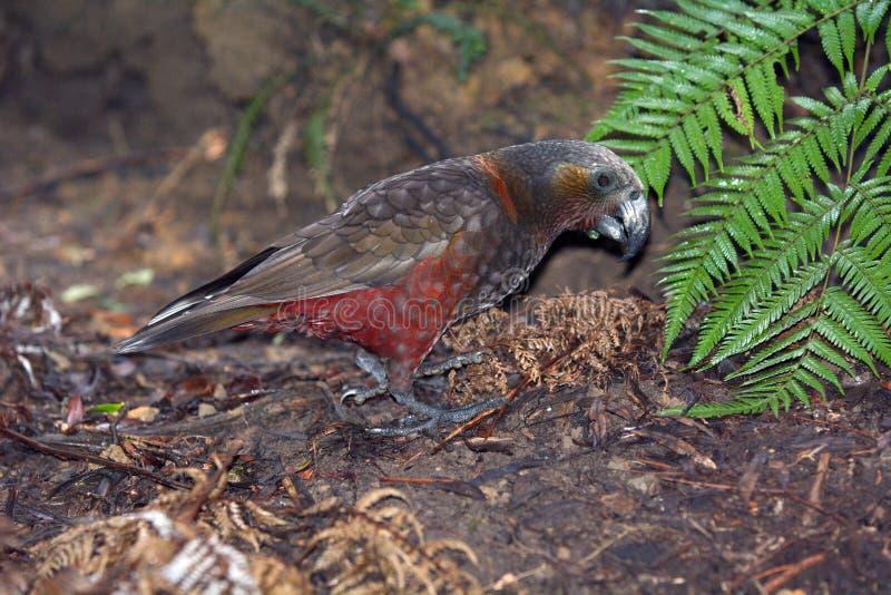 Kaka du Nouvelle-Zélande recherchant la nourriture sur l'au sol indigène de buisson image libre de droits