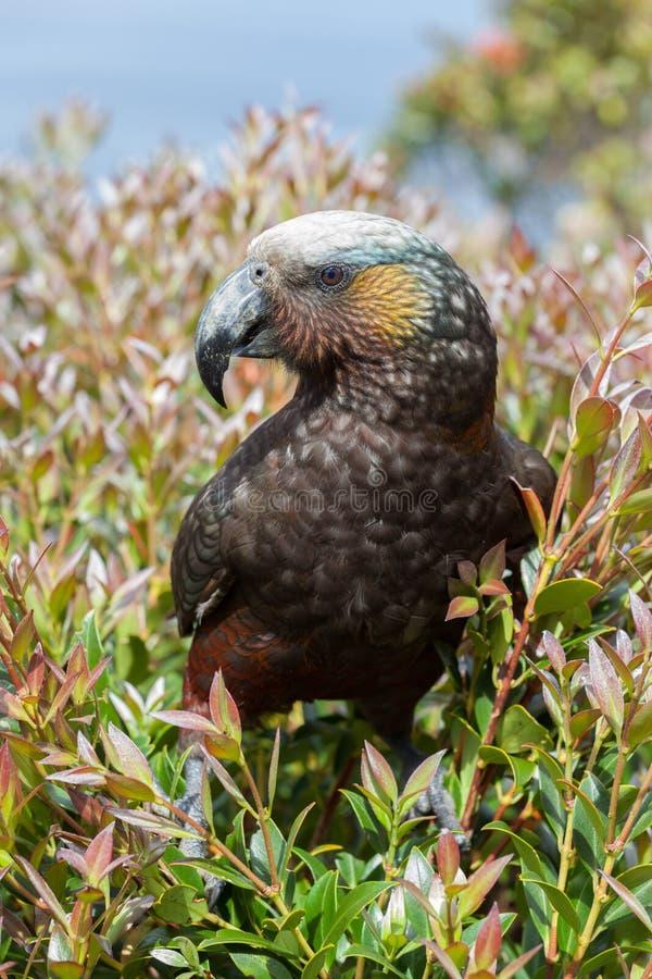 Kaka - indigène d'oiseau vers le Nouvelle-Zélande photos stock
