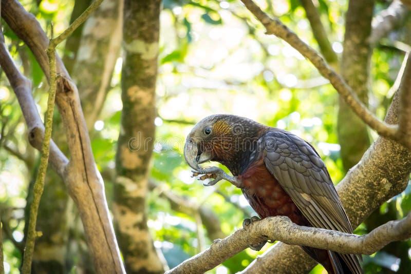 Kaka mangeant dans l'après-midi Sun photos libres de droits