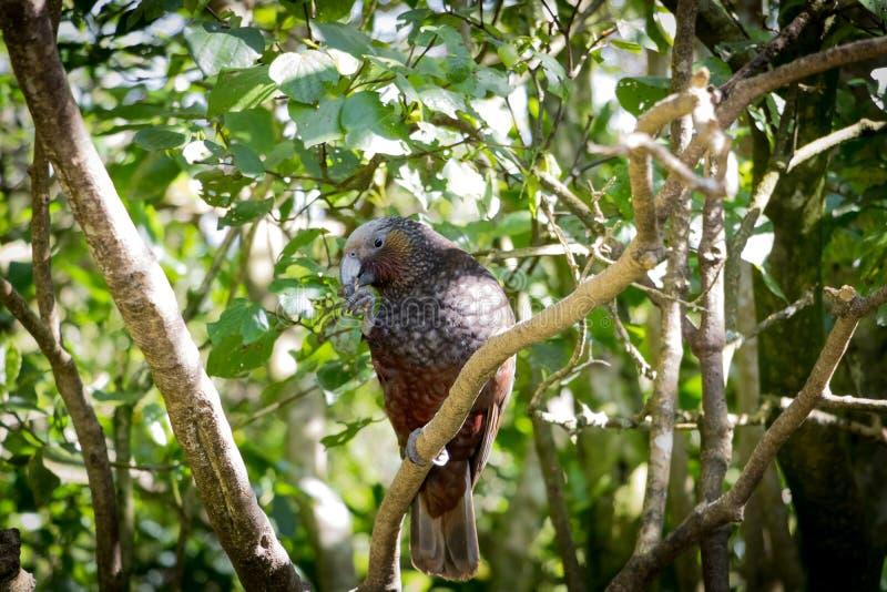 Kaka, perroquet du Nouvelle-Zélande Brown photographie stock