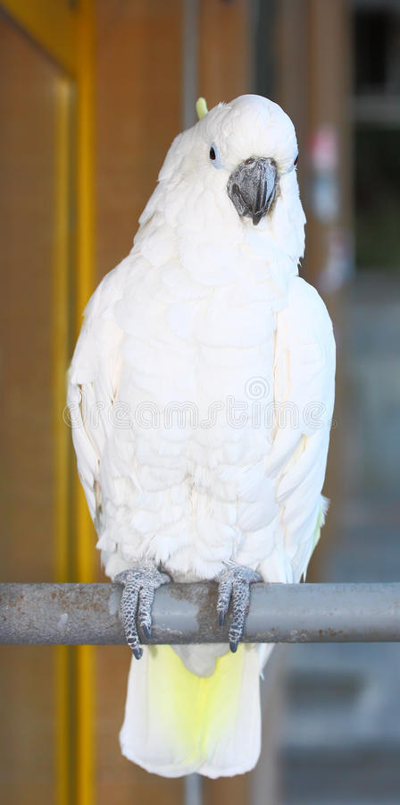 Kakadu. A Kakadu parrot on a stick looking at the camera outdoor royalty free stock images