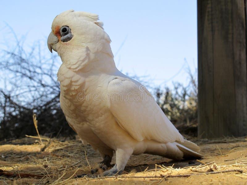 Kakadu, australia. Kakadu in the outback, australia royalty free stock photos