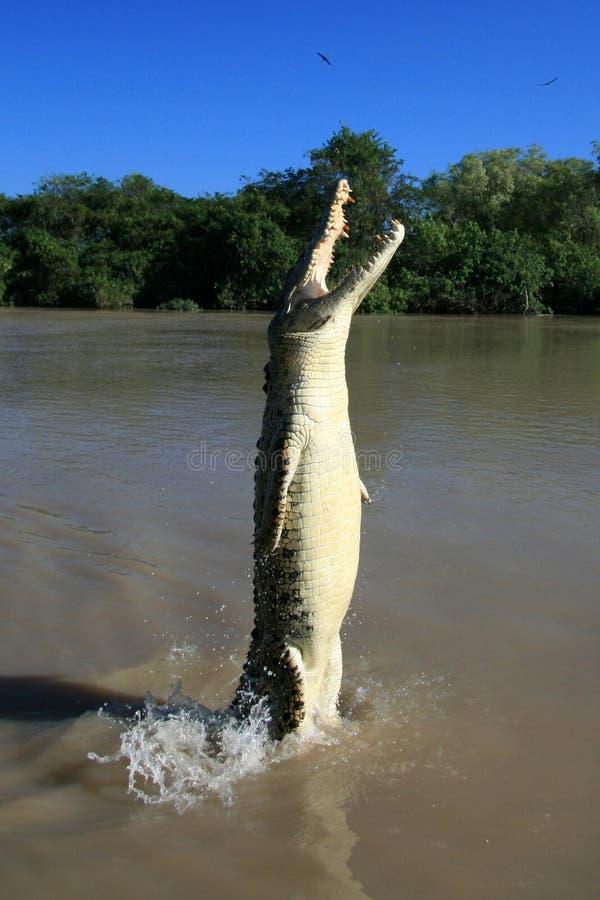 kakadu crocodille Австралии скача стоковая фотография rf