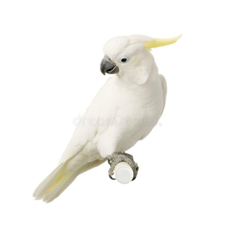 kakadu czubaty żółty obrazy stock