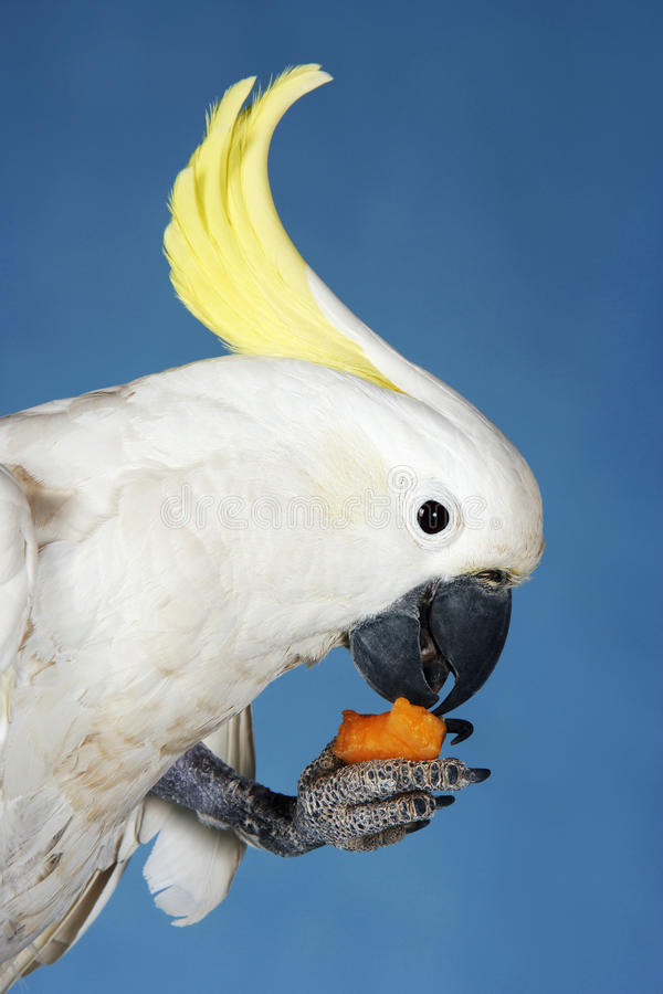 Kakadu, der auf blauem Hintergrund isst lizenzfreie stockfotos