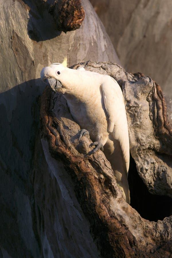 Kakadu im Baum lizenzfreie stockfotos
