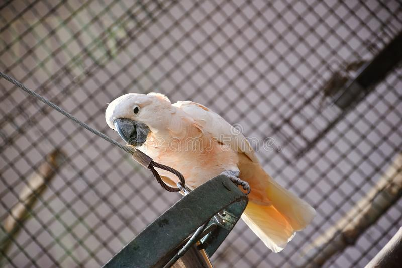 Kakadu in the Moscow zoo. Parrot on a branch stock photography