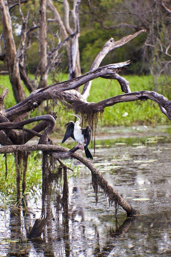Kakadu National Park. Bird enjoys the morning sun in Kakadu National Park Australia stock photos