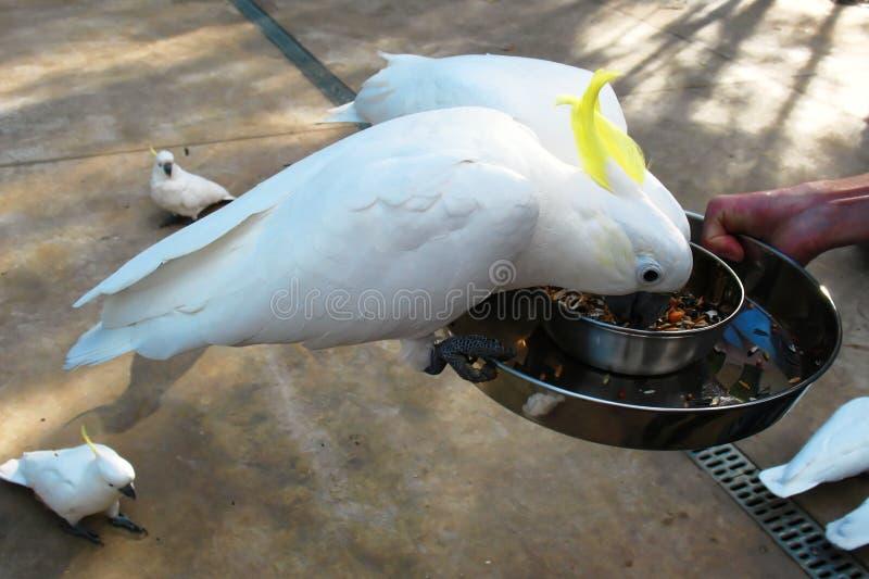 Kakadu parrots. Feeding wild kakadu parrots in Dandenong Ranges, Australia royalty free stock images