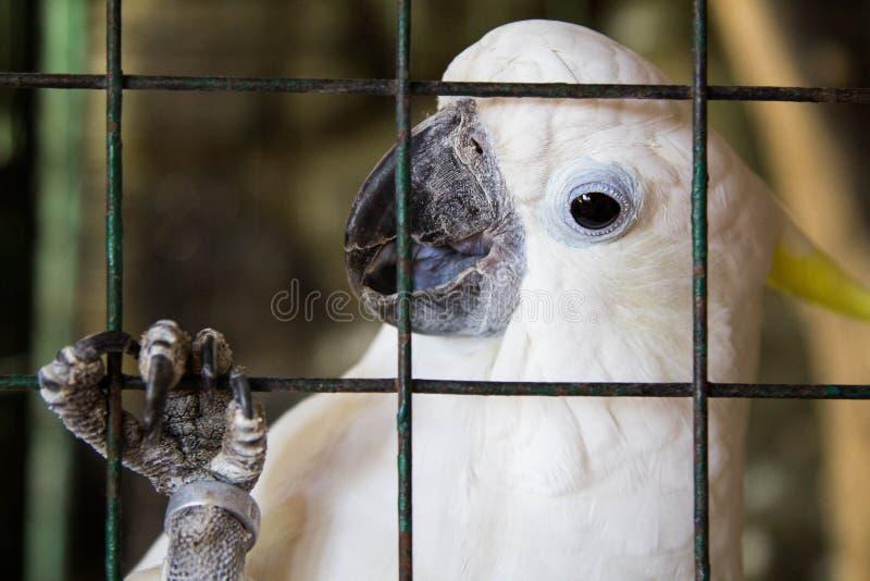 Kakadu w klatce Filipiny obraz royalty free