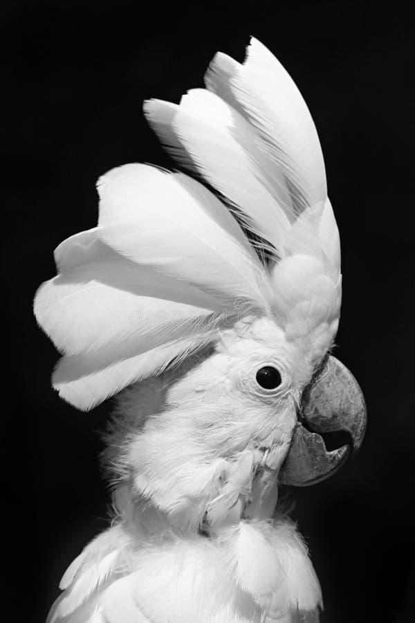 kakadua arkivbilder
