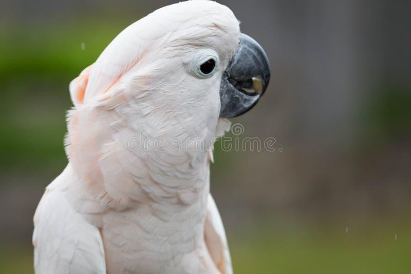 kakadua moluccan arkivbilder