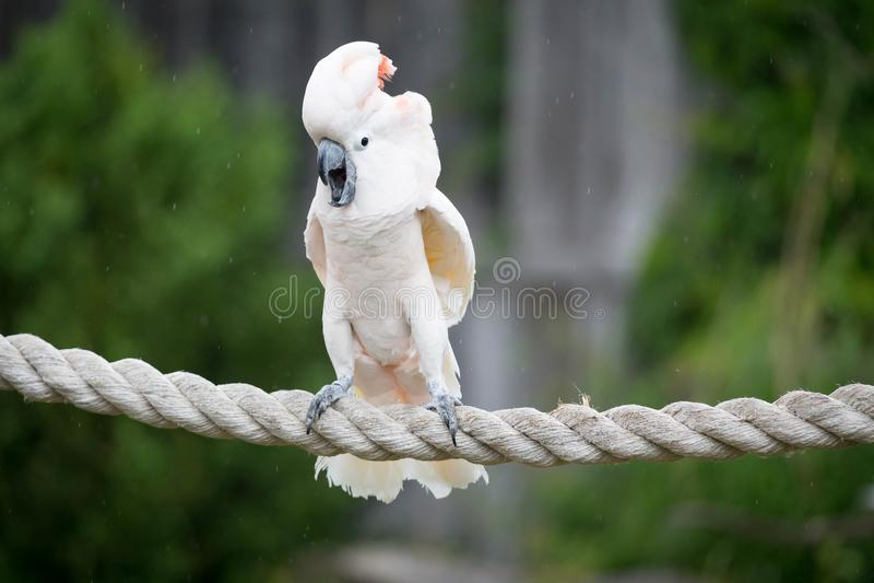 kakadua moluccan fotografering för bildbyråer