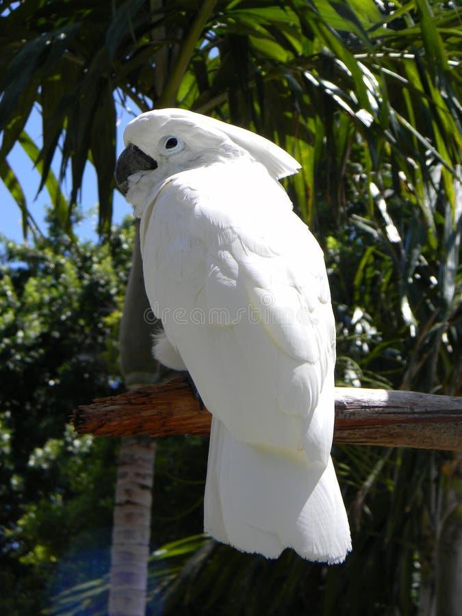 Kakadua sitted på en stam arkivfoton