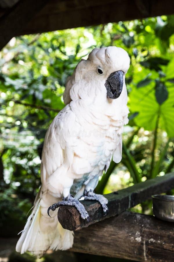 Kakaduapapegoja i vändkretsarna royaltyfri fotografi