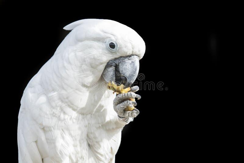 Kakaduapapegoja som äter från dess fot royaltyfri foto