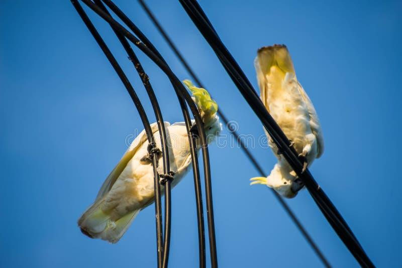 Kakadus, die auf elektrischem Kabel kauen lizenzfreie stockfotografie