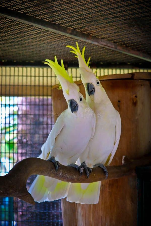 Kakadus sind nettes Haustier stockfoto