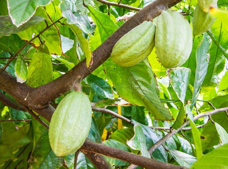 Kakao bär frukt hänga på filialen av Theobromakakaoträdet royaltyfri foto