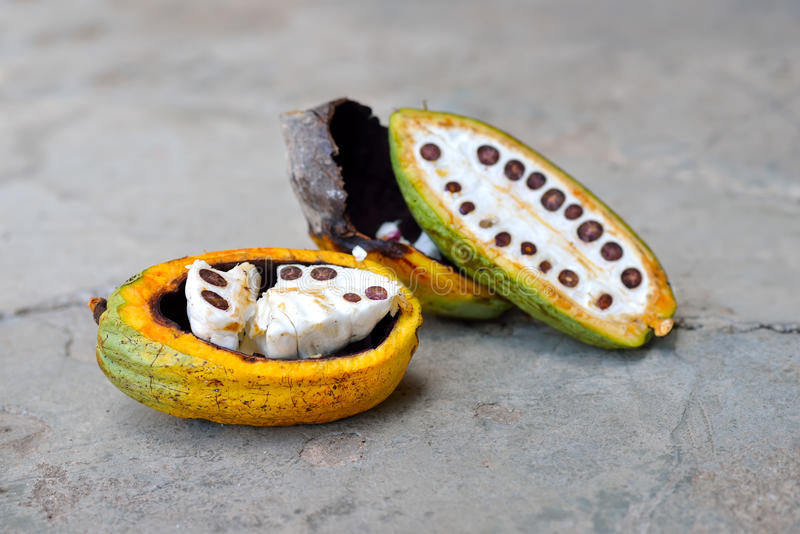 Kakao bär frukt på trädet royaltyfri foto