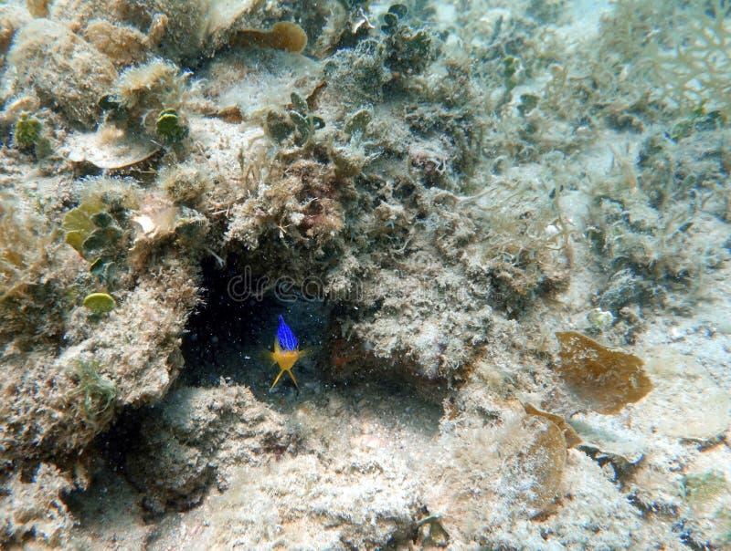 Kakao Damselfish, der im Ozean schwimmt stockbild