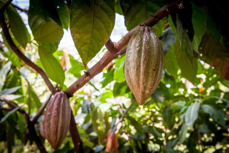 Kakao för Theobroma för kakaoträd Organiska kakaofruktfröskidor i natur arkivfoton