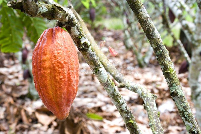 Kakao-Hülse lizenzfreies stockfoto