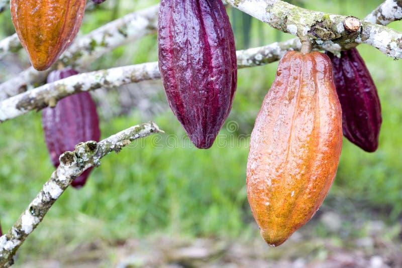 Kakao-Hülsen stockbilder
