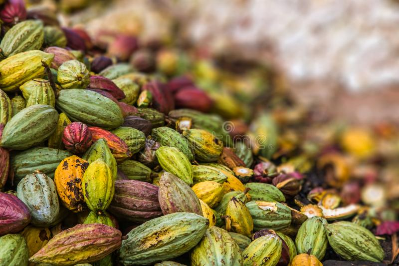 Kakao strąki obraz stock