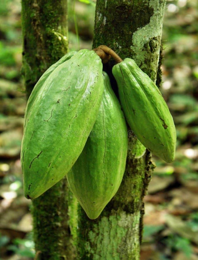 Kakaoböna. arkivbilder