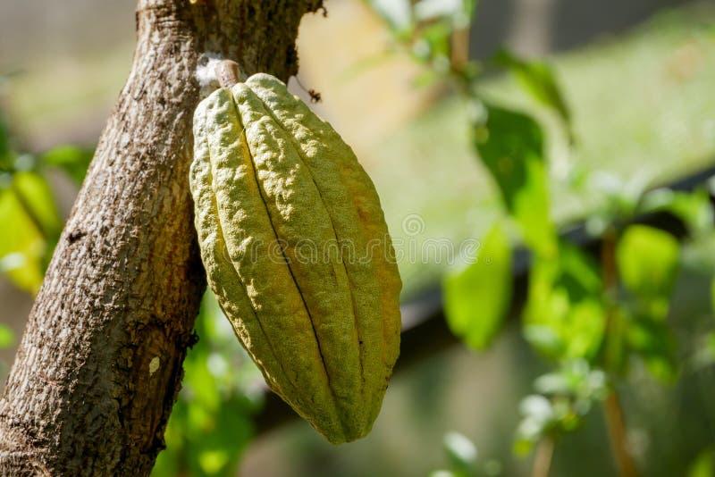 Kakaobaum mit Hülsen Verwendet als Lebensmittel und Getränk stockbild
