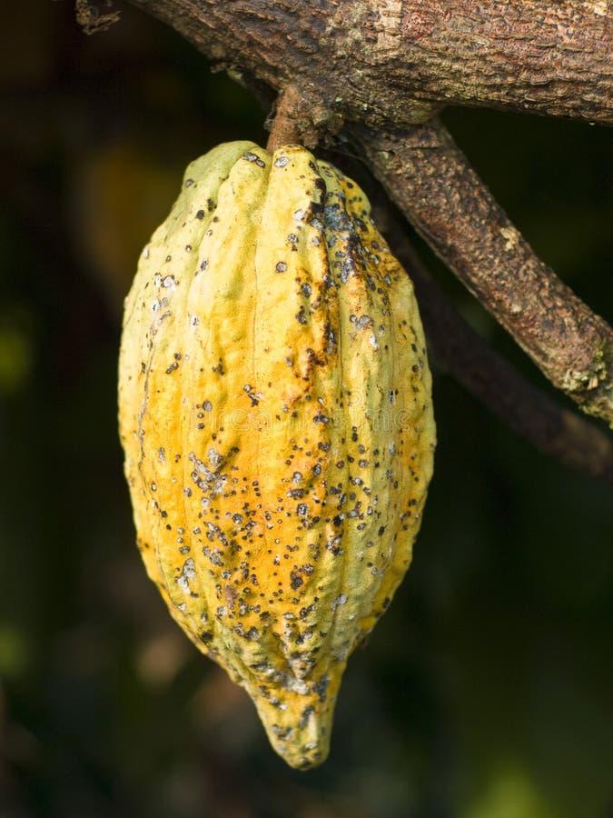 Kakaobohne stockfoto