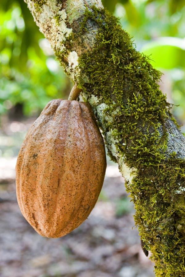 Kakaobohne lizenzfreie stockfotos