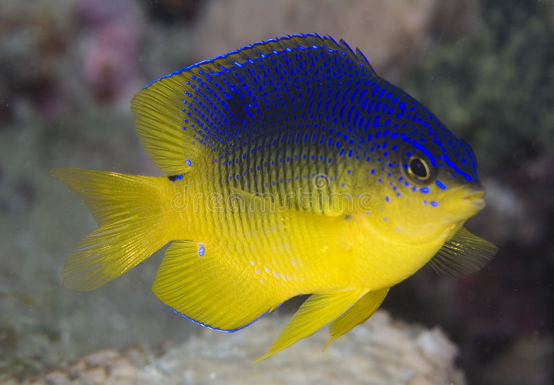 KakaoDamselfish stockfoto
